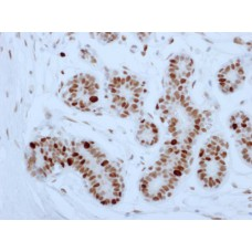 antibody  PCNA , clone (P60) Mouse, concentrated, 0,2 ml